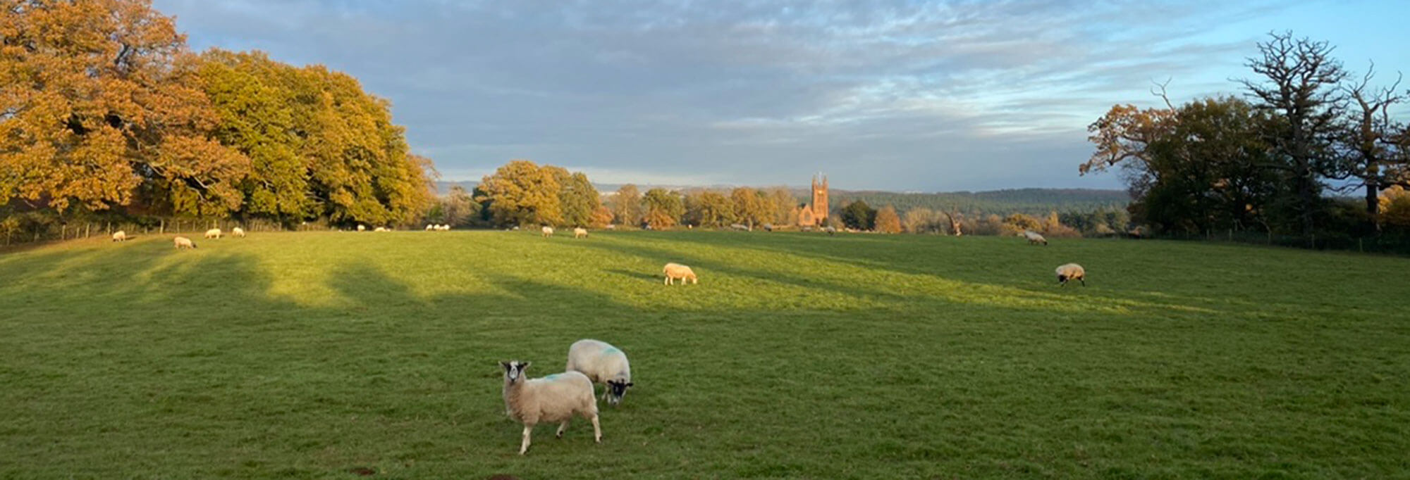 Sheep grazing at Enville